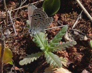 False Baton Blue on foodplant, Cleonia lusitanica